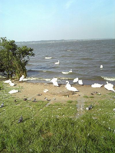 霞ヶ浦湖畔の水鳥が集まる場所